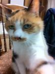 写真 三毛猫ミミ 0g-__bimg_4350.jpg