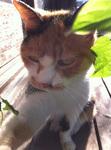 写真 三毛猫ミミ 0g-__bimg_4536.jpg